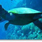 turtles in Cape Verde